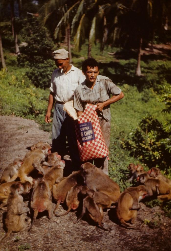 """Feeding monkeys Purina chow""<br>Orpha Leatherman - ca 1949"