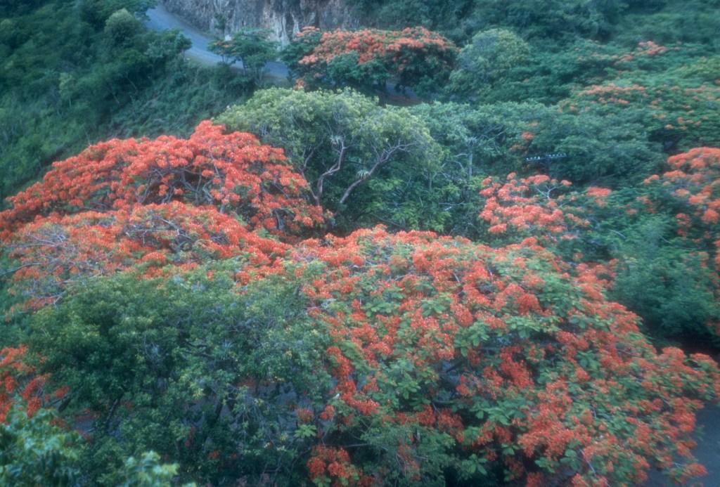 """Flamboyant trees on highway""<br>Wesley Whiteside - 1950's"