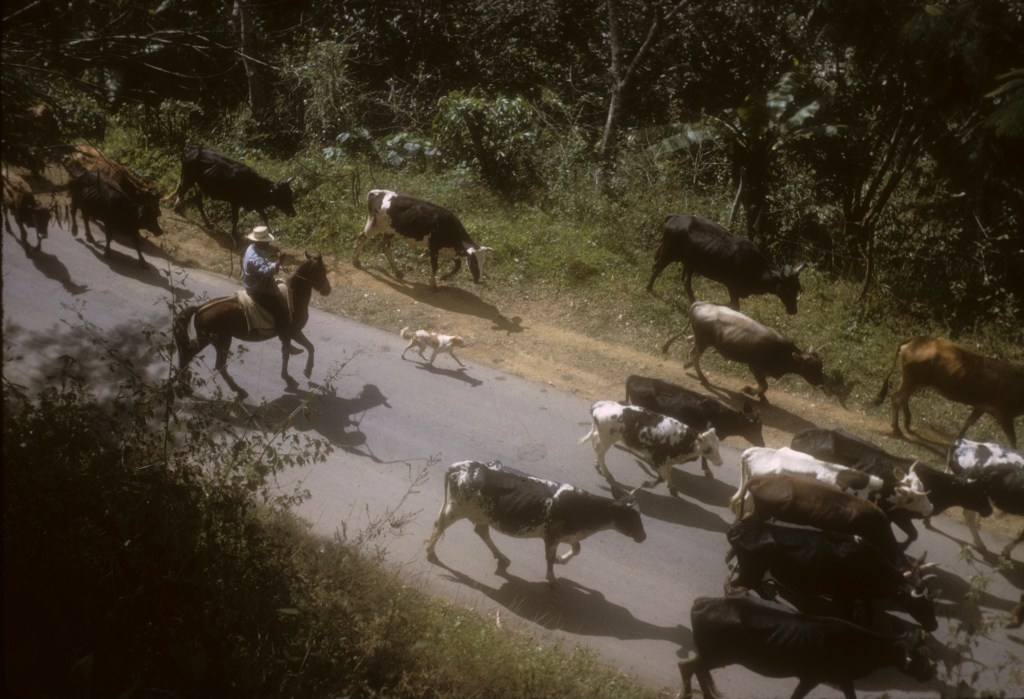 """""""Cowboy and cattle on road""""<br>Don Heiser -  año 1965"""